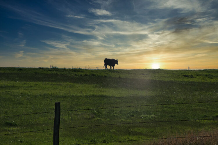 Fine art photography prints | Lone Cow in the Sun