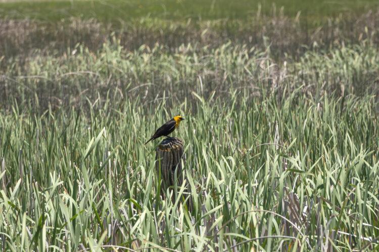 Fine art photography prints | Yellow Headed Blackbird