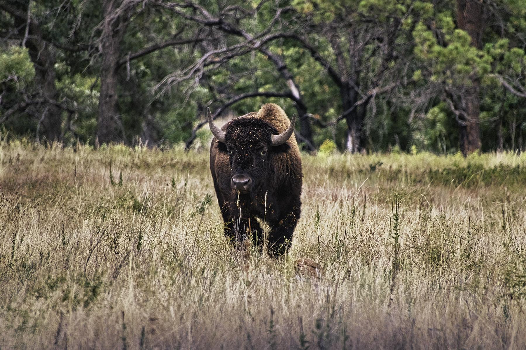 Fine art photography prints   Buffalo Grazing at Dusk