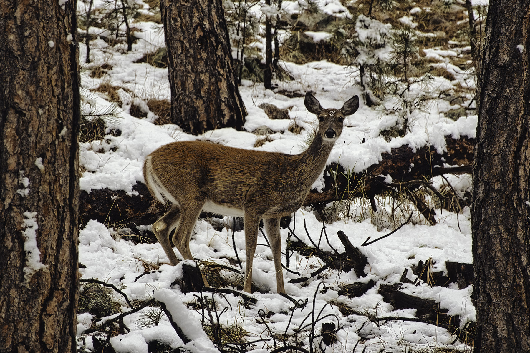 Fine art photography prints   Deer Looking at You