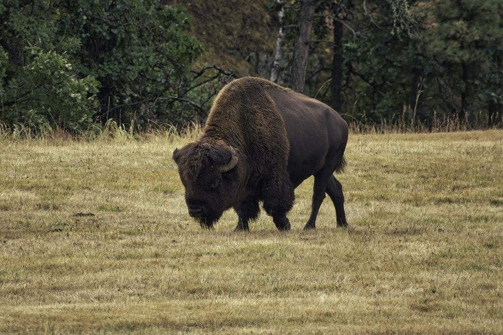 Fine art photography   Handsome Bearded Buffalo