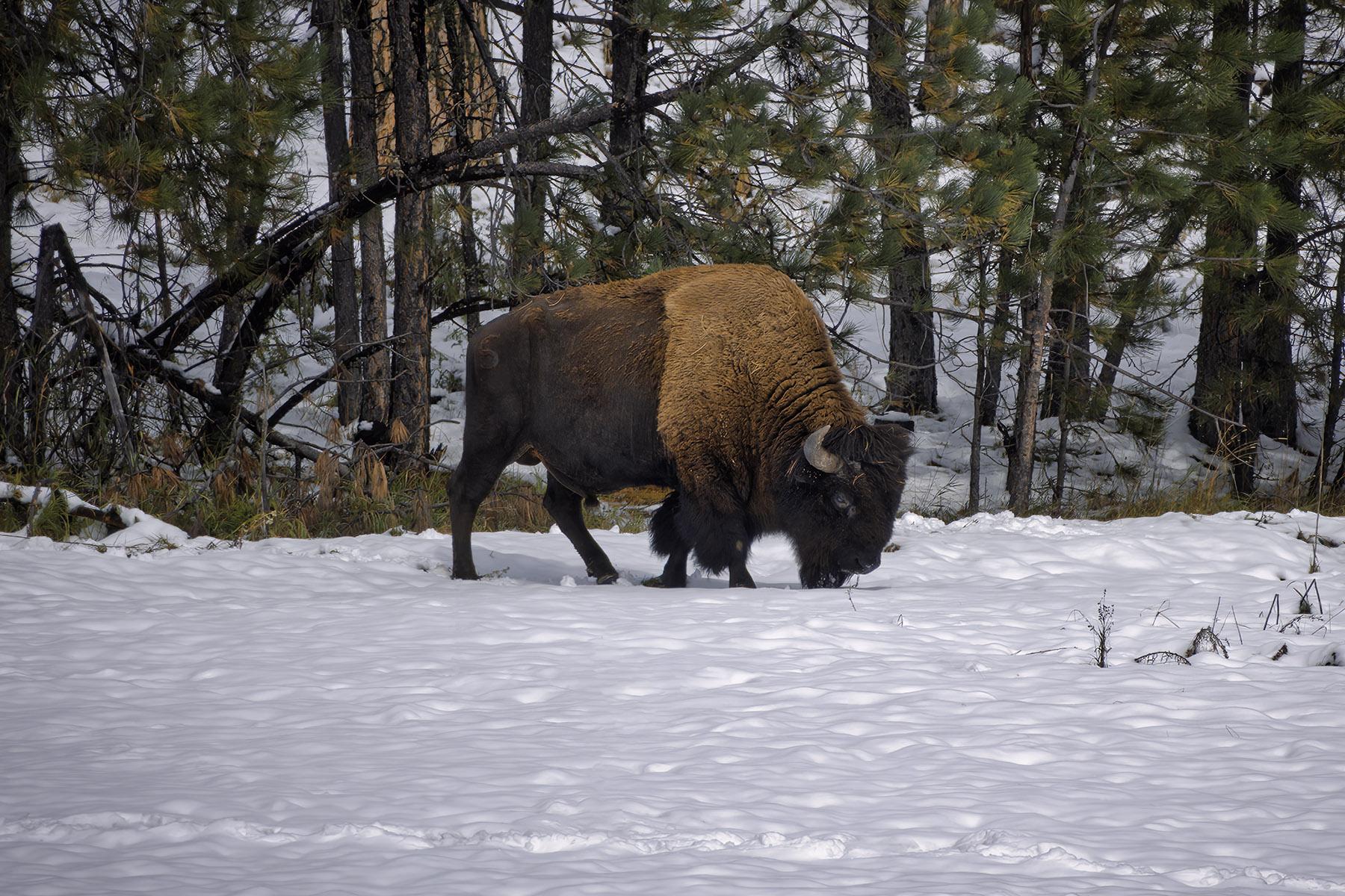 Fine art photography prints | Buffalo Grazing in Snow
