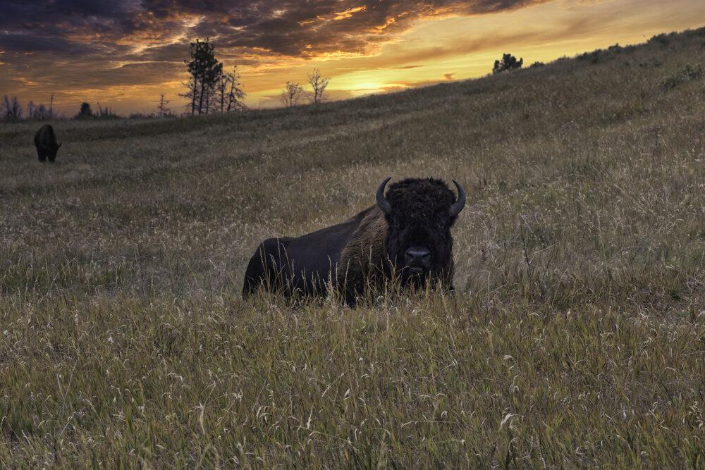 Fine art photography prints   Buffalo Resting at Sunset